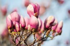 Wiosny drzewa magnoliowi kwiaty Zdjęcie Royalty Free