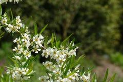 Wiosny dzika wiśnia Obrazy Stock