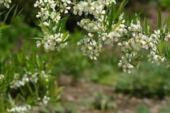 Wiosny dzika wiśnia Fotografia Stock