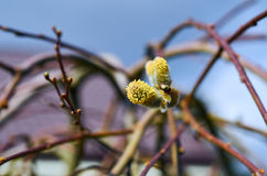 Wiosny figlarki kwiat Zdjęcie Royalty Free