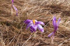 Wiosny góry kwiaty Fotografia Royalty Free