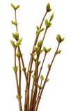 Wiosny gałąź drzewo, odosobniony biały tło Zdjęcia Royalty Free