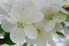 Wiosny gałąź jabłczani kwiatów okwitnięcia w wiosna ogródzie Miękka selekcyjna ostrość tła naturalny kwiecisty Obraz Stock