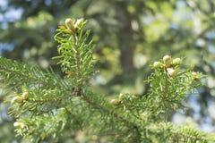 Wiosny gałąź jodła Fotografia Royalty Free