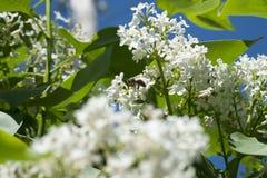 Wiosny gałąź kwitnąć bzu Zdjęcia Stock