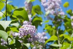 Wiosny gałąź kwitnąć bzu Obrazy Royalty Free