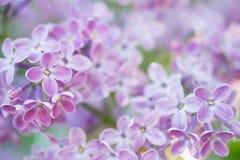 Wiosny gałąź lili okwitnięcia w wiosna ogródzie Miękka selekcyjna ostrość tła naturalny kwiecisty Obraz Royalty Free