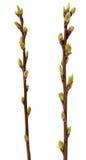 Wiosny gałąź odizolowywająca na bielu drzewo Obrazy Royalty Free