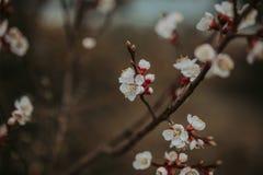 Wiosny ga??zka kwitnie owocowego drzewa na ciemnym tle Zamyka w g?r? stonowanej fotografii okwitni?cie obraz royalty free