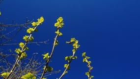 Wiosny Gałęziasty malinowy aspirować Fotografia Stock
