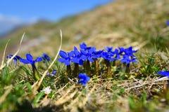 Wiosny gencjana Fotografia Stock
