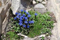Wiosny gencjana verna Gentiana dorośnięcie na skałach Grossglockn Obrazy Stock
