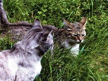 Wiosny gra podwórzowi koty na trawie zdjęcia stock