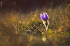 Wiosny i wiosny kwiat Piękny purpurowy mały owłosiony sasanek Pulsatilla grandis Kwitnie na wiosny łące przy s Obrazy Stock