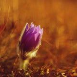 Wiosny i wiosny kwiat Piękny purpurowy mały owłosiony sasanek Pulsatilla grandis Kwitnie na wiosny łące przy s Zdjęcia Stock
