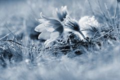 Wiosny i wiosny kwiat Piękny purpurowy mały owłosiony sasanek Pulsatilla grandis Kwitnie na wiosny łące przy s Obrazy Royalty Free