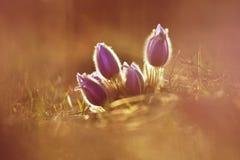 Wiosny i wiosny kwiat Piękny purpurowy mały owłosiony sasanek Pulsatilla grandis Kwitnie na wiosny łące przy s Zdjęcie Stock