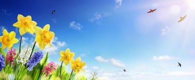 Wiosny I wielkanocy sztandar - Daffodils W Świeżym gazonie fotografia royalty free