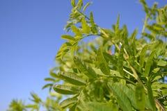 Wiosny i zieleni liście na gałąź Fotografia Royalty Free