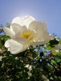 Wiosny Jabłczany okwitnięcie obrazy stock