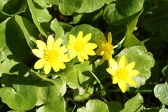 Wiosny kolor żółty kwiaty Fotografia Royalty Free