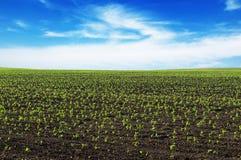 Wiosny kukurydzany pole Obraz Royalty Free