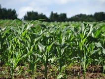 Wiosny Kukurydzany pole w Tennessee Fotografia Stock