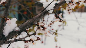 Wiosny kwiatonośna jabłoń rozgałęzia się pod śniegiem zbiory
