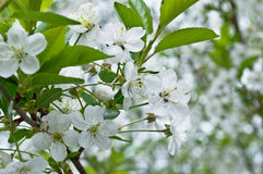 Wiosny kwiatonośny jabłko Zdjęcie Stock