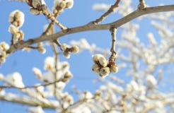 Wiosny kwiecenia gałąź wierzba Kwiecisty tło z kici wierzbą w kwiacie Wierzb gałązki z baziami na błękicie Fotografia Stock