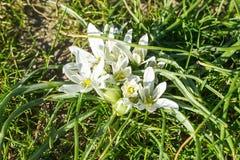 Wiosny kwiecenie biała Ornithogalum umbellatum gwiazda Betlejem, trawy leluja, drzemka przy południem, jedenaście o zegarowa dama obraz royalty free