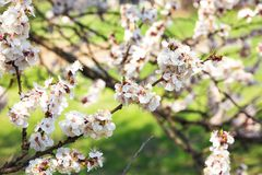 Wiosny kwiecenie drzewa obraz royalty free