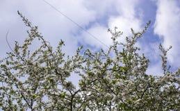 Wiosny kwiecenie: gałąź kwiatonośny jabłko lub wiśnia w parku Biali kwiaty wi?nia na a lub jab?o? obraz royalty free