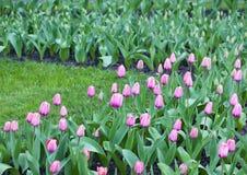 Wiosny kwiecenie różowi tulipany Zdjęcie Stock