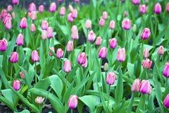 Wiosny kwiecenie różowi tulipany Obrazy Royalty Free