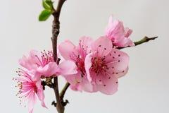 Wiosny kwiecenie rozgałęzia się, brzoskwinia kwiaty na ogrodowym tle Obrazy Royalty Free
