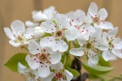 Wiosny kwiecenie rozgałęzia się, wiśnia kwiaty na ogrodowym tle Obrazy Royalty Free