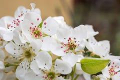 Wiosny kwiecenie rozgałęzia się, wiśnia kwiaty na ogrodowym tle Zdjęcia Royalty Free