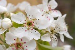 Wiosny kwiecenie rozgałęzia się, wiśnia kwiaty na ogrodowym tle Zdjęcie Stock
