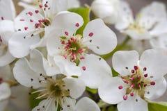 Wiosny kwiecenie rozgałęzia się, wiśnia kwiaty na ogrodowym tle Obraz Royalty Free