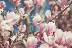Wiosny kwiecisty tło z magnoliowymi soulangeana kwiatami Dla ten fotografii stosować tonowanie skutek Obrazy Royalty Free