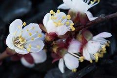 Wiosny kwitnąć jabłoń Wiosny kwitnąć wiśnia Zdjęcie Stock