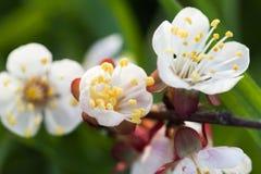 Wiosny kwitnąć jabłoń Wiosny kwitnąć wiśnia Zdjęcia Royalty Free