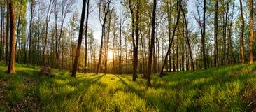 Wiosny lasowa panorama z słońcem Zdjęcie Stock
