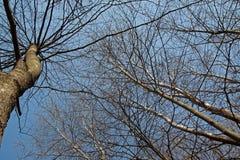 Wiosny lasowy drzewo na niebieskim niebie Obraz Royalty Free