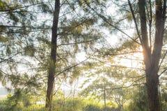 Wiosny lata słońca jaśnienie Przez baldachimu Wysocy drzewa sunlight fotografia stock