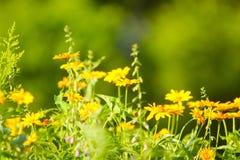 Wiosny lub lata tło z pięknymi żółtymi kwiatami Obrazy Stock