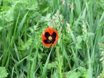 Wiosny mack dalej wśród zielonej trawy na polu Północny Kaukaz, piękny wiosna krajobraz Fotografia Stock