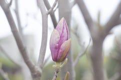 Wiosny magnolii menchia pączkuje na gałąź drzewo Okwitnięcie Magnoliowy kwiat w naturze Piękny wiosna kwiat Obrazy Royalty Free