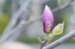 Wiosny magnolii menchia pączkuje na gałąź drzewo Okwitnięcie Magnoliowy kwiat w naturze Piękny wiosna kwiat Fotografia Stock